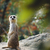 meerkat stock photo © sarkao