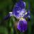 синий · Iris · зеленый · фиолетовый · цветок · весны - Сток-фото © sarkao
