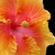 hibisco · primavera · natureza · jardim · belo · macro - foto stock © sbonk