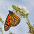 monarch butterfly stock photo © sbonk