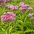 roze · bee · balsem · bloemen · tuin · groene - stockfoto © sbonk
