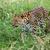 amur leopard prowling through long grass stock photo © scheriton