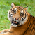 Head Shot of Growling Sumatran Tiger stock photo © scheriton