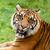 hoofd · shot · sumatraanse · tijger · haren · tijger · milieu - stockfoto © scheriton