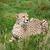 cheetah · lang · gras · oog · snelheid - stockfoto © scheriton