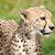kant · portret · cheetah · gras · groene · snelheid - stockfoto © scheriton