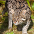 Fishing Cat Prowling in Afternoon Sunshine stock photo © scheriton