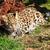 aranyos · baba · leopárd · medvebocs · guggol · bokor - stock fotó © scheriton