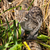 Fishing Cat Hunting in Long Grass stock photo © scheriton