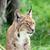 рысь · жизни · парка · Открытый · млекопитающее - Сток-фото © scheriton