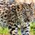 közelkép · aranyos · baba · leopárd · medvebocs · természet - stock fotó © scheriton