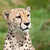 portré · gyönyörű · kíváncsi · gepárd · macska · zöld - stock fotó © scheriton