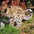 cute baby amur leopard cub looking over shoulder stock photo © scheriton