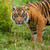 Head Shot of Sumatran Tiger in Grass stock photo © scheriton