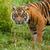 głowie · shot · tygrys · trawy · Tygrys · moc - zdjęcia stock © scheriton