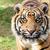 close up head shot of sumatran tiger stock photo © scheriton