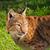 Eurasian Lynx Looking Over Shoulder stock photo © scheriton