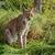 Eurasian Lynx Sitting in Long Grass stock photo © scheriton