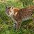 Portrait of Eurasian Lynx Standing in Long Grass stock photo © scheriton