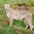 cheetah · mooie · gras · oog - stockfoto © scheriton