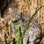 Fishing Cat Standing in Long Grass stock photo © scheriton