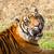 cabeça · tiro · cabelo · tigre · ambiente - foto stock © scheriton