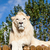white lion posing on sunny wooden platform stock photo © scheriton