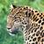 head short portrait of beautiful amur leopard stock photo © scheriton