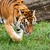 Bengal Tiger Searching for Something in Grass stock photo © scheriton