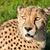 cheetah · woestijn · South · Africa · ogen · portret · afrika - stockfoto © scheriton
