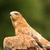 tawny eagle stock photo © scooperdigital