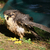 lanner falcon stock photo © scooperdigital