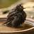 zuidelijk · mus · veren · vogel · bad · water - stockfoto © scooperdigital