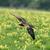 uçan · siyah · çayır · kuş · tüy · hayvan - stok fotoğraf © scooperdigital