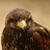 harris hawk stock photo © scooperdigital