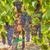 ripe syrah grapes in the vineyard stock photo © searagen