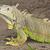 緑 · イグアナ · 眼 · 顔 · 木材 · 肖像 - ストックフォト © searagen