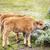 bisão · verão · árvore · grama · campo · EUA - foto stock © searagen