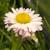 magányos · százszorszép · virág · közelkép · zöld · fű · természet - stock fotó © selenamay
