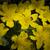 werknemer · bee · gele · bloem · verzamelen · stuifmeel - stockfoto © selenamay