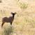 Adult Tsessebe stock photo © serendipitymemories