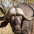 african buffalo bull stock photo © serendipitymemories
