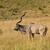 Greater Kudu - Tragelaphus strepsiceros stock photo © serendipitymemories