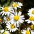 bloemen · witte · familie · gras · natuur - stockfoto © serg64