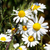 çiçekler · bulutlu · gökyüzü · çiçek · bahar · papatya - stok fotoğraf © serg64