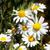 tuin · groene · daisy · kleur · witte · gazon - stockfoto © serg64