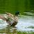 wild duck swims in lake stock photo © serg64