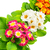 цветы · примула · желтый · фиолетовый · весны - Сток-фото © serg64