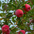Ripe red apples on a tree stock photo © serge001