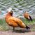 drake protecting a duck family stock photo © serpla